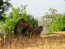 チンパンジー、霊長類について
